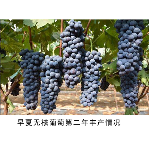 2017夏黑葡萄苗认准新行葡萄