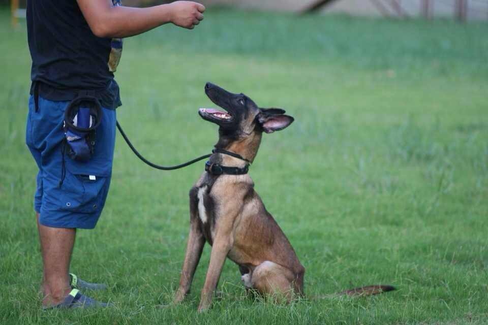 番禺宠物训练中级的训练科目训什么?顺德的狗狗的服从学校成立于2005年的金色世家宠物学校位于广州和深圳 提供宠物出售,宠物美容,用品销售,宠物寄养、宠物培训一站试宠物服务机构。 中级服从科目:1初级所有科目 2自由随行 3立(蹲) 4吠叫 5安静 6行进中坐、卧 7休息(躺下) 8翻滚 9钻圈 10过隧道 11三级跳 12平地抛物衔取(此项需经训犬师测试) (时间:两个月)