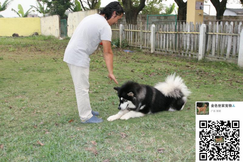 金色世家宠物训练学校为您的爱犬异常行为|辅导犬