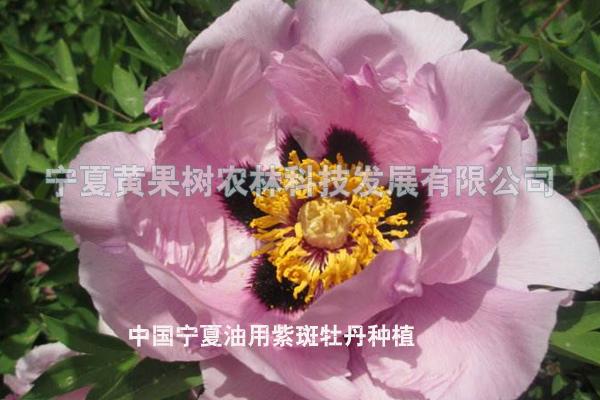 宁夏油用紫斑牡丹苗,紫斑牡丹年有收维博图片