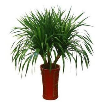 龙血树种植,海南龙血树批发,海南哪里有卖龙血树?
