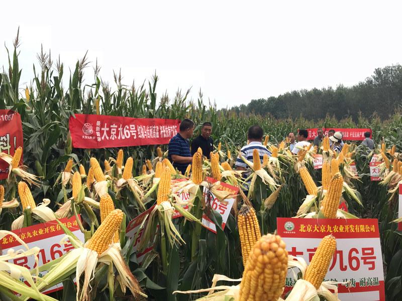 特大暴雨也无法阻止这个玉米品种高产,大京九6号要逆天-焦点中国网