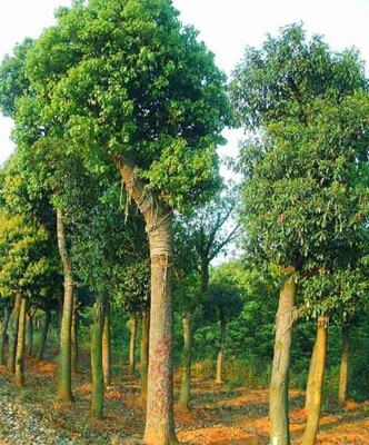 栽植胸径6厘米以上高大乔木或常绿树时,应支三角架或井字支架进行支撑