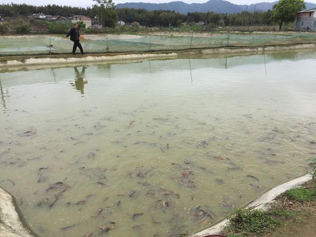 新瑶台湾泥鳅养殖厂,是一家专业从事台湾泥鳅养殖孵化的养殖场,同时