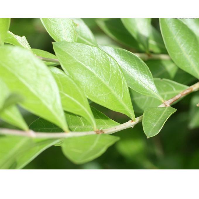 海娜花与海娜粉的区别|蔓海蒂纯天然植物染发剂|指甲草染发