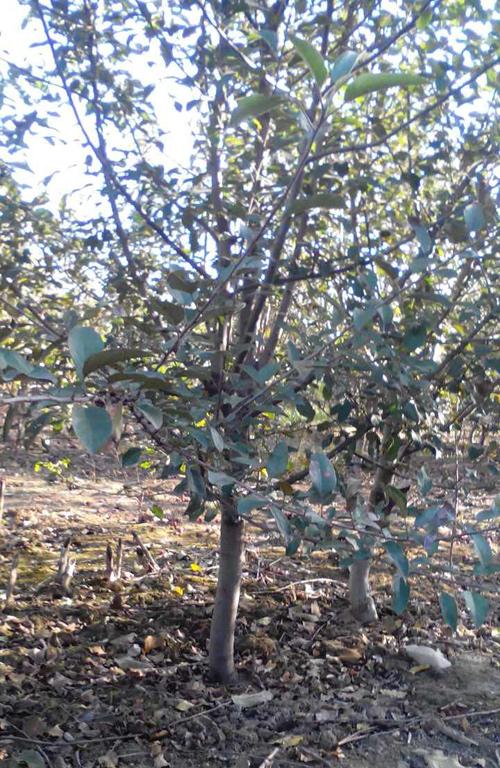 500-1苹果树2