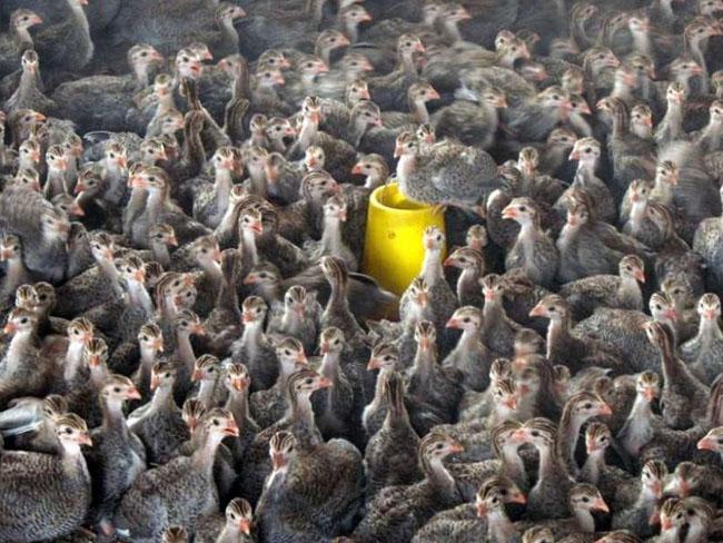 江苏珍珠鸡苗养殖场