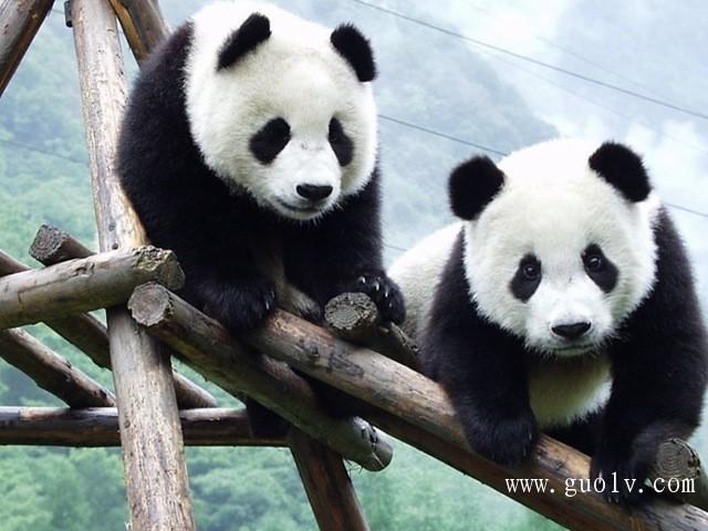 成都雅安碧峰峡野生动物园大熊猫基地上里古镇两日游