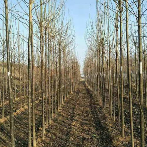 12公分楸树种植基地
