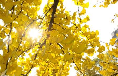 银杏树叶基地好?首选南京嵇发苗圃种植基地有限公司银杏树叶