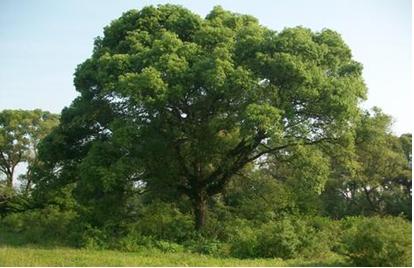 樟科 lauraceae 润楠属 别名:竹叶楠,豪樟,宜昌润楠,大叶楠图片