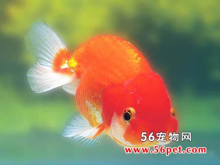 适合秋冬养殖的冷水观赏鱼