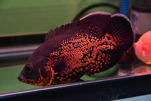 图鱼能和什么鱼混养图片