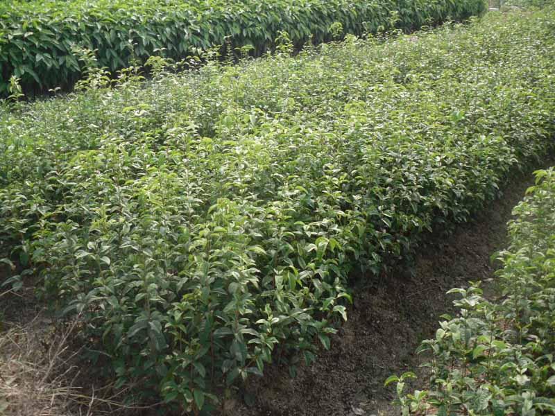 如果要移栽的桂花树较大,还应进行适当的修剪,以减少水分的蒸发,提高