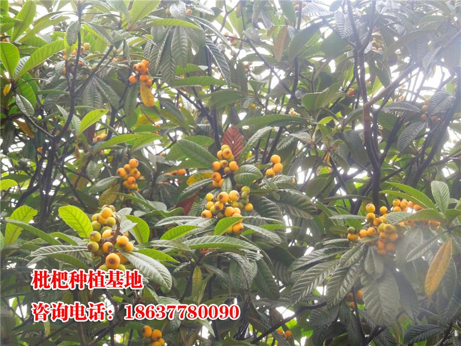 枇杷树种植基地   优质枇杷树基地