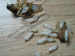 广州杀蟑螂最好的公司 厨房灭蟑螂 家庭灭蟑螂 食品工厂灭蟑螂