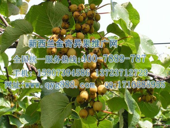 怎么样分辨猕猴桃苗公母 中国猕猴桃信息网图片