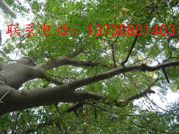 皂角树原产中国长江流域,分布极广,自中国北部至南部及西南均有分布。适宜栽种的地区为:山西、山东、河南、甘肃、河北、内蒙古、江苏、湖北、湖南、广东、广西、四川、安徽、浙江、贵州、陕西、江西、云南及东北三省等地区。多生于平原、山谷及丘陵地区。但在温暖地区可分布在海拔1600米处。性喜光而稍耐荫,喜温暖湿润气候及深厚肥沃适当湿润土壤,但对土壤要求不严,在石灰质及盐碱甚至粘土或砂土均能正常生长。皂荚的生长速度慢但寿命很长,可达六七百年。属于深根性树种。需要6-8年的营养生长才能开花结果。但是其结实期可长达数百年