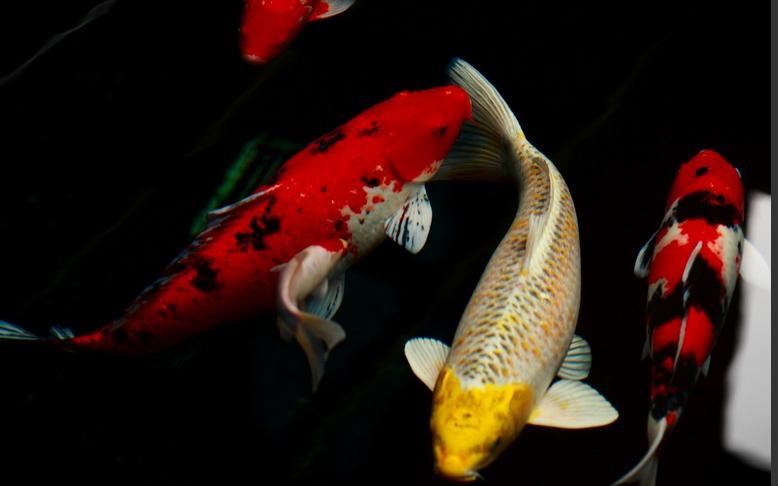 饲养锦鲤鱼以及锦鲤鱼价格