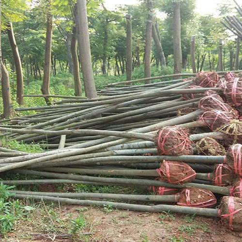 益阳柚子树价格,营造清洁生活环境