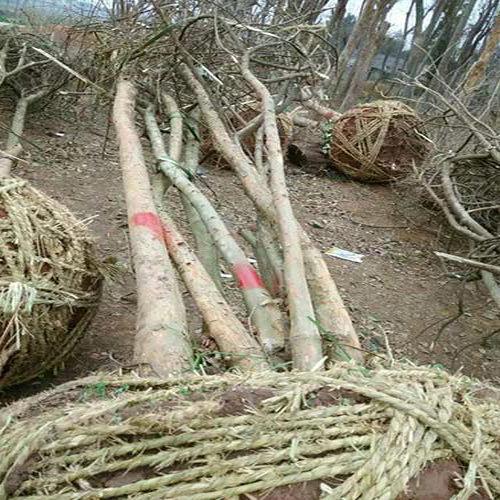 供应黄连木苗|黄连木树需要多少钱 ?联系绿洲园林!