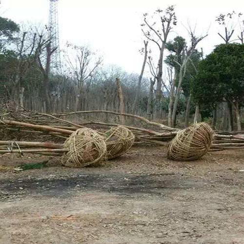 常德汉寿县地区哪里有截杆栾树出售?  绿洲园林苗圃!