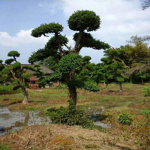 25公分黄连木、骨架黄连木哪里便宜    拓展造林空间!