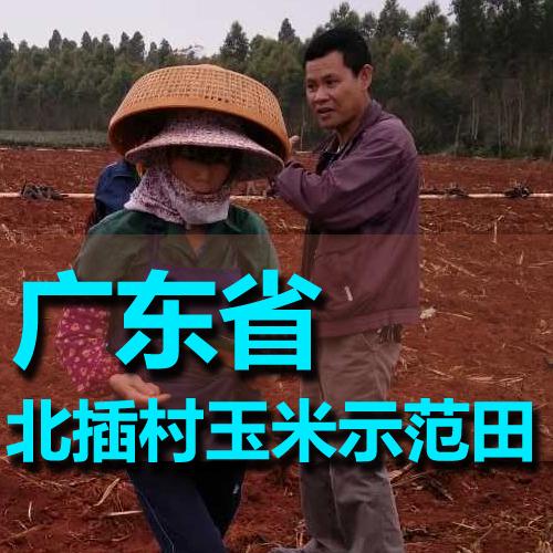 广东徐闻县北插村玉米禧发娱乐官网官网