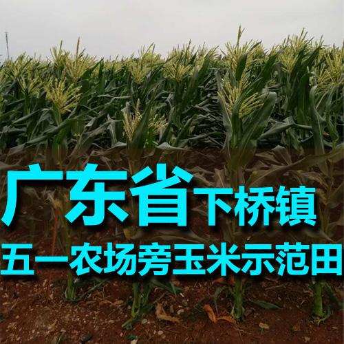 广东下桥镇五一农场旁玉米禧发娱乐官网官网