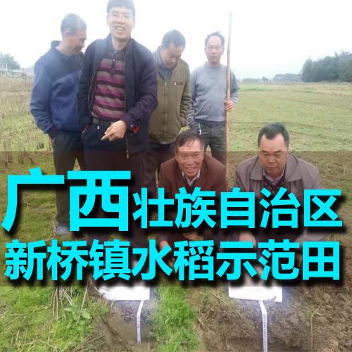 广西玉林市新桥镇水稻示范田