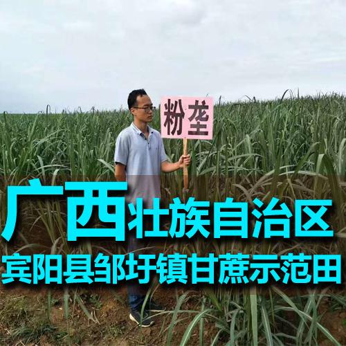 广西宾阳县邹圩镇甘蔗大富豪娱乐手机网第一品