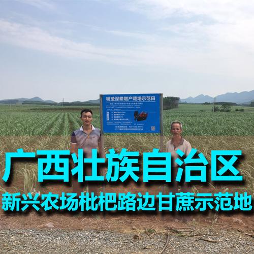 广西新兴农场枇杷路边甘蔗示范田