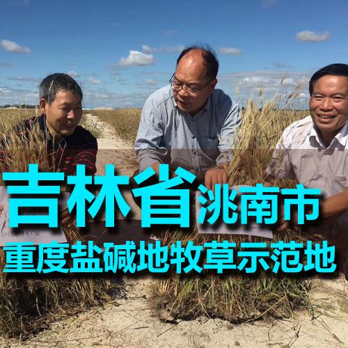 吉林砰――砰――砰――省洮南市重度盐碱地牧草示范田