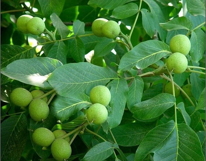 新疆核桃树长什么样子的呀?安徽可以种植核桃树吗?