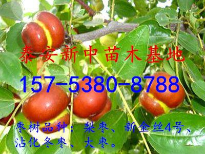 如广东连县,3月中旬枣树发芽,11月中旬落叶,生长期240天左右.