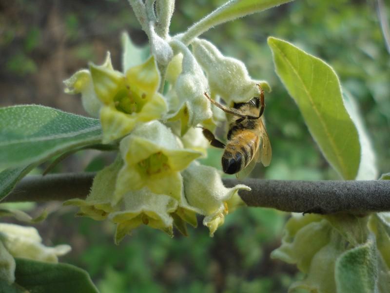 随后又来到深山之中的蜂农家,了解到翅果油树开花比较早,营养价值丰富