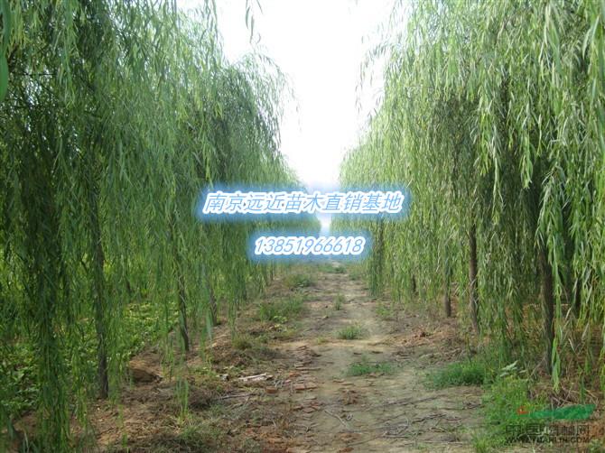 垂柳属落叶乔木高达18米胸径1米树冠倒广卵形.分布长江...