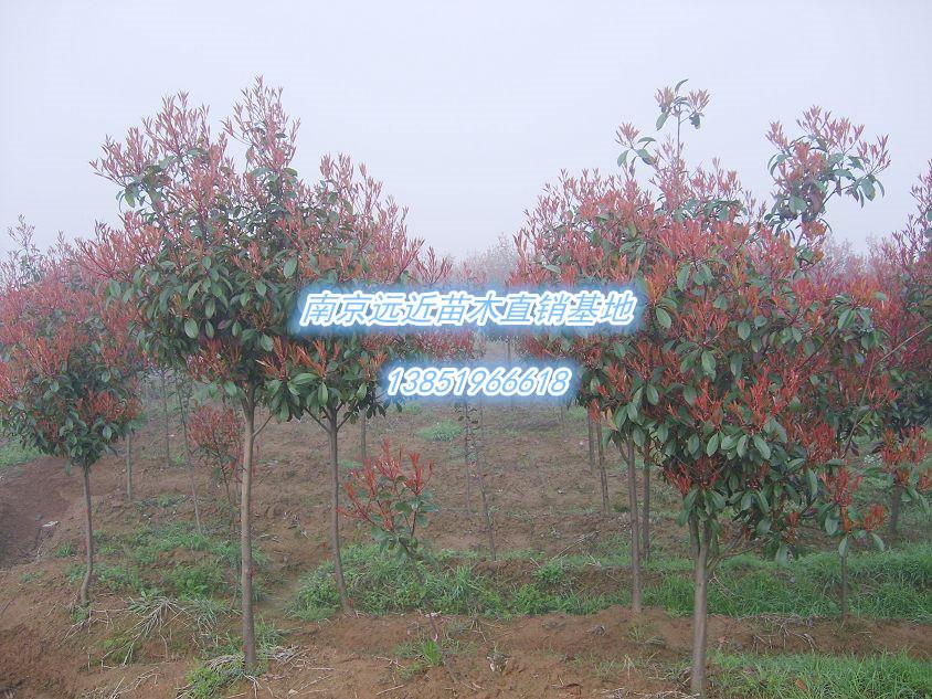杆石楠树7公分红叶石楠价格
