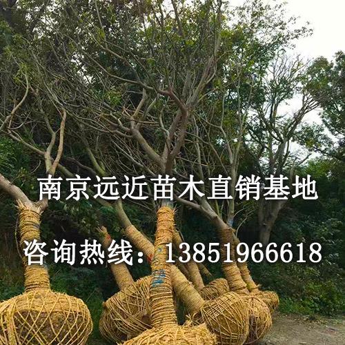 大叶朴树盆景图片