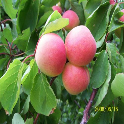 花椒桑白蚧,以若虫伏于花椒树干上吸食汁液,常引起被害枝条枯死.