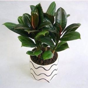 小橡皮树_上海绿色植物出租公司