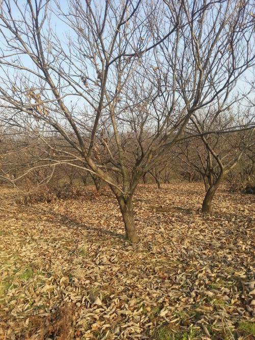 唐山板栗树种植管理