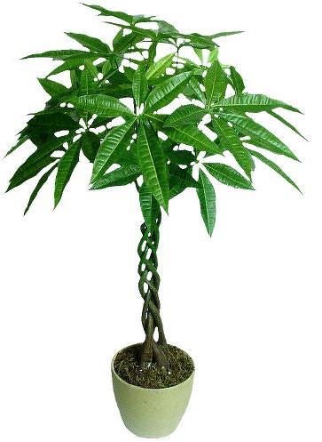 各种家养花的-各位花友家里养的花都是啥?是不是发财树、幸福树、平安树啊之类的