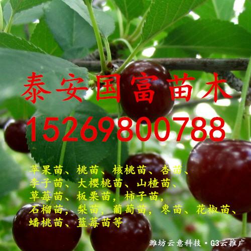 山东喜来蓝莓苗批发、喜来蓝莓苗基地、喜来蓝莓苗价格