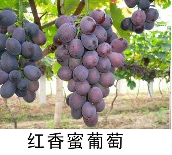 红香蜜葡萄