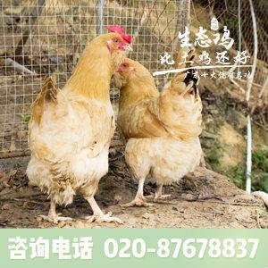 价格合理达济生态,汕头草鸡养殖场