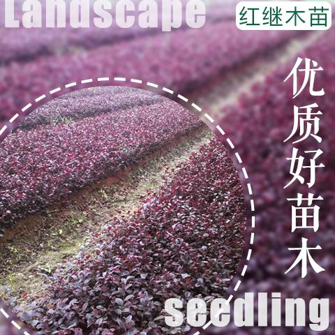 单干桂花树种植技术,江津桂花苗批发种植基地