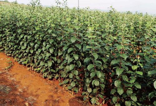 栽培脱毒苗木是防治果树病毒根有效处径,中惠