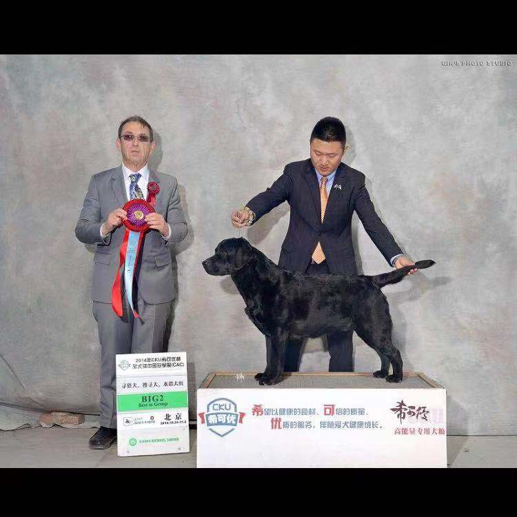 已获奖美系阿诺血系拉布拉多10个月青年犬低价转让