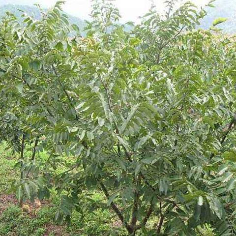 花椒樹苗_萊蕪市萊城區魯欣苗木種植場